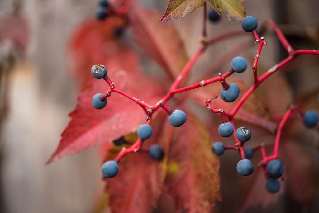 autum berries